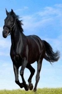beautiful-black-horse-running-168143-1-s-307x512