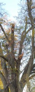 Oak 3